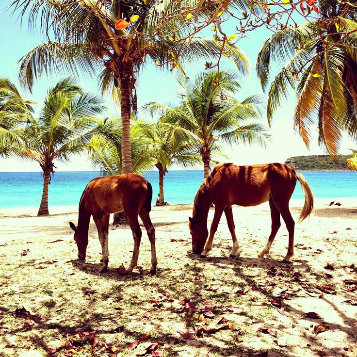 Wild horses by the caribbean sea , Vieques island, Puerto ...