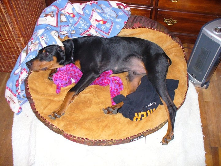 This was the first day that I got Kona back to from his new owners. They had to move to Hawaii and could not take him till his blood work came back. It was going to take 120days, or if they would have taken him, he would have been put in quarantine for that long. There is no way any dog could have been able to go threw that. kona had separation anxiety as it was. They never ended up taking him back. I did find him an amazing home to place him in and he is doing really great and is happy!!!!: Separates Anxiety, Blood Work
