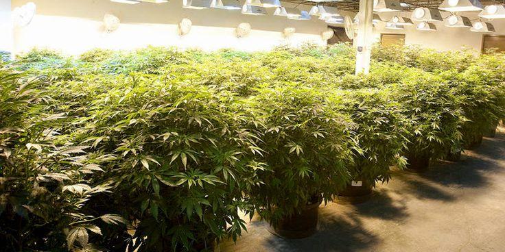 Co marihuany rostliny potřebují