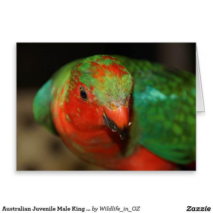 Australian Juvenile Male King Parrot Greeting Card - Australian Wildlife. Click on photo to view item then click on item to see how to purchase that item. #postcard #greetingcard #parrot #kingparrot #wildlife #australianwildlife #zazzle