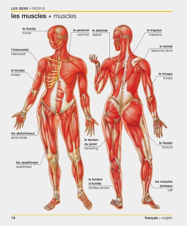 Resultado de imagen de les muscles ecole en francais