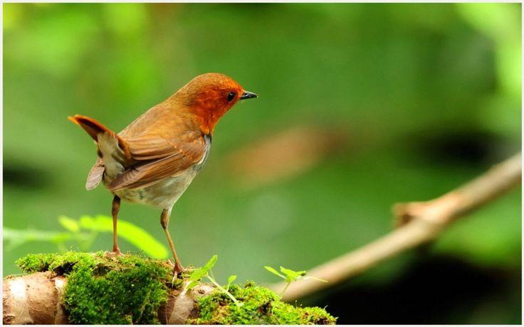 Robin Bird Wallpaper | robin bird hd wallpaper, robin bird wallpaper