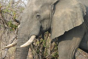 Elephants are one of South Africa's Big 5.
