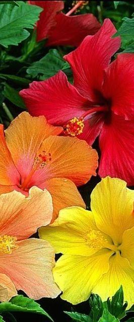 Hibiscus in beautiful colors