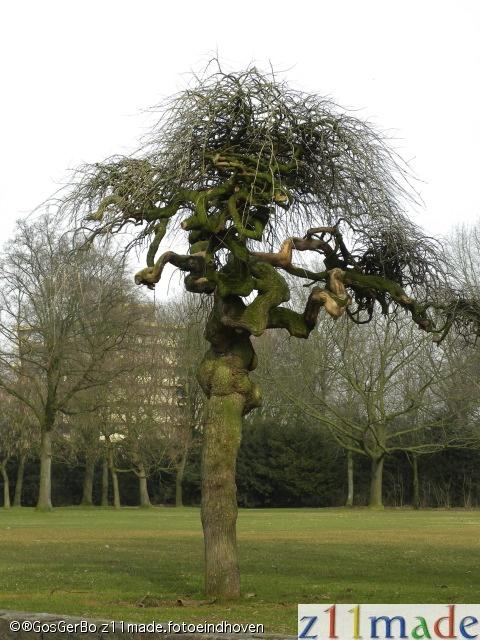 Henry Dunantpark, Woensel.  Hoe heet deze boom?