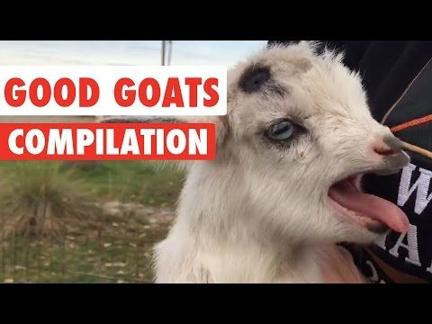 Good Goats Video Compilation 2016 : Video Clips From The Coolest One