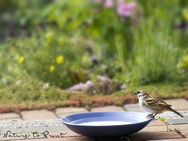 Sperling an der Vogeltränke