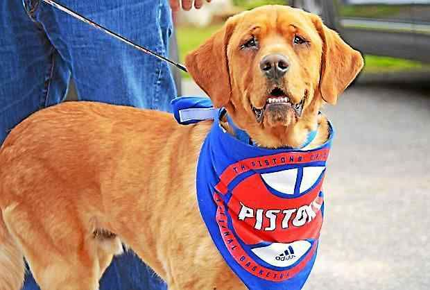AUBURN HILLS >> Eastwood did not know what a lucky pup he was when he was adopted by Pistons coach Stan Van Gundy, his wife Kim and their family.