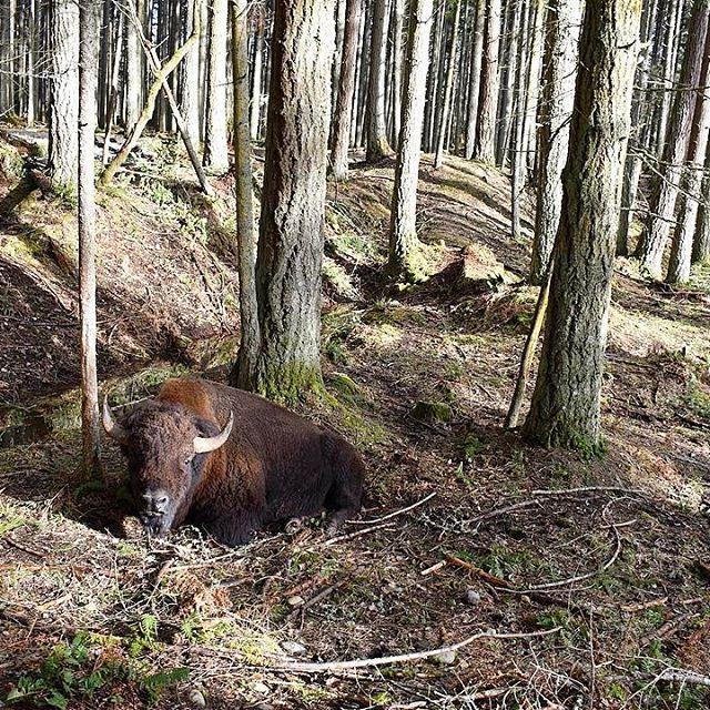 【meandkoume】さんのInstagramの写真をピンしています。《A Bison resting in the woods. 林の中で一人休憩中のバイソン。近くで見ると迫力ありますが、結構優しい顔をしているんです。 #bison #northwesttrekwildlifepark  #northwesttrek #naturephotography #woods #resting #eatonville #wa #washingtonstate #nikon #nikonphotography #amazing #wildanimals #mothernature #roadtrip #weekendgetaway  #自然 #バイソン #ワシントン州 #野生動物園 #野生動物 #ロードトリップ #動物 #林》