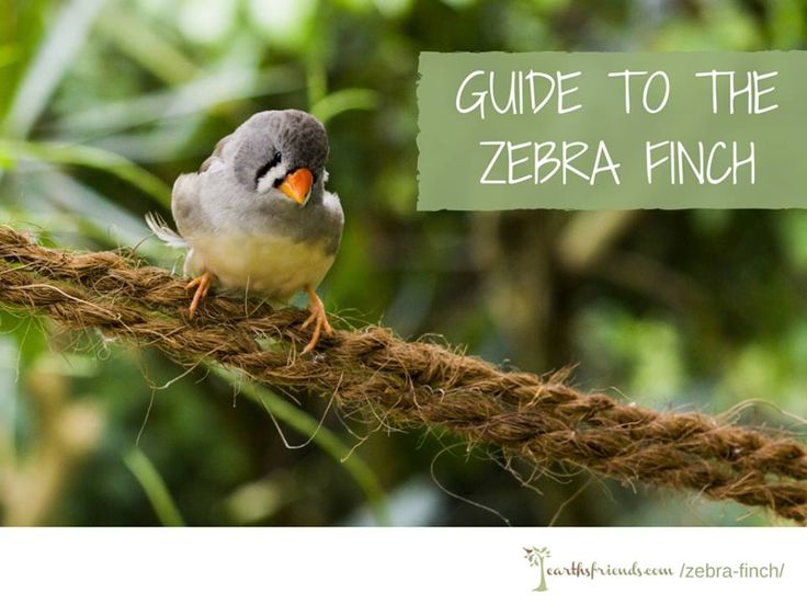 Meet The Zebra Finch: Its Origin, Its Importance In The Bird World, Care, Diet & More