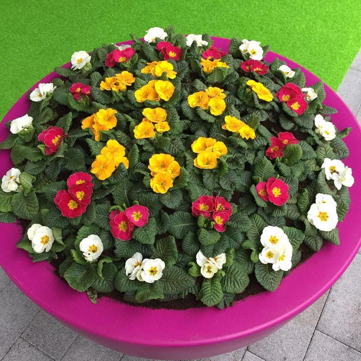 Spring colours with Primula Paradiso http://primula-paradiso.com/