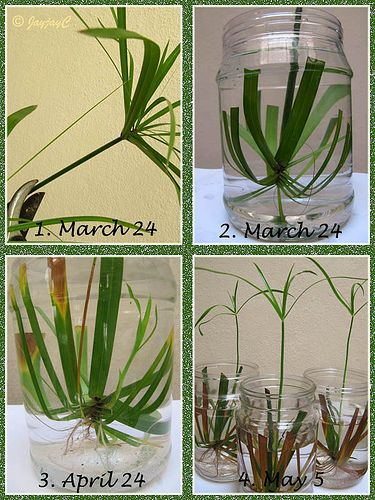propagating umbrella plant - easy  @Cassandra Dowman Dowman Guild Alfheim This is the info your dad needs for the plant in the kitchen...