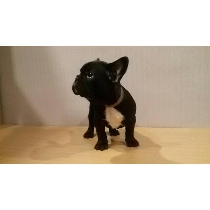 French bulldog female for sale