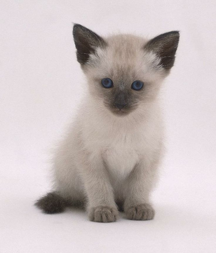 75 best cats kittens images on pinterest big cats for Siamese 9 electric motor