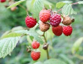 The Right Way To Pinch And Prune Raspberries