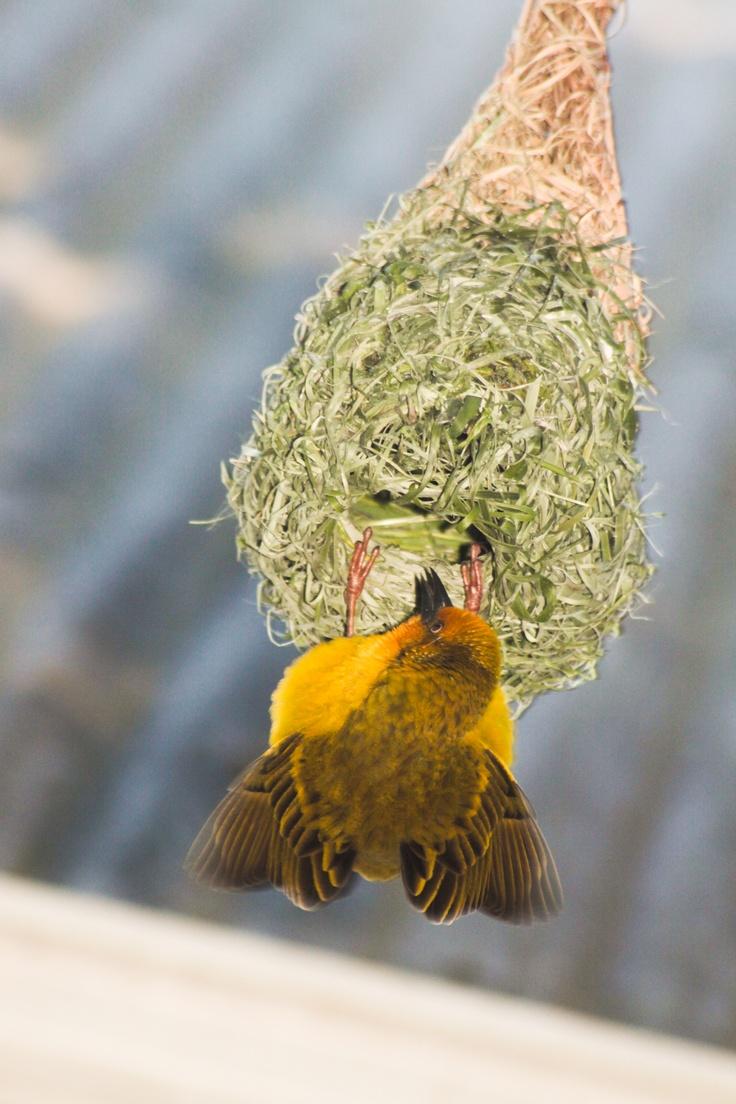 Weaver's nest  http://www.muratie.co.za/buy-wine/