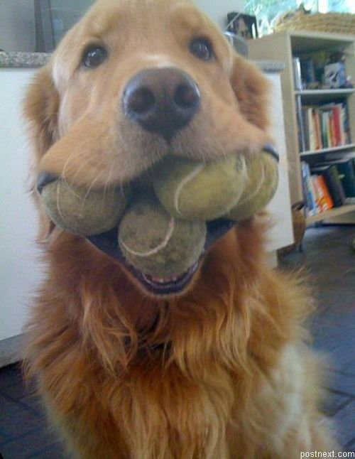 Tennis balls: Golden Rules, Funny Dogs, Old Dogs, Pet, Happy Dogs, So Funny, Tennis Ball, Animal, Golden Retriever