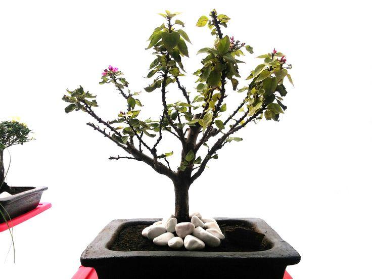 Bonsai de bugambilia