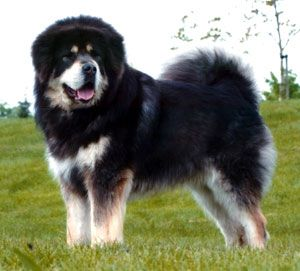 A Tibetan Mastiff is the dog that I will be able to afford when I am rich and famous.  Maybe I will even buy a Red Tibetan Mastiff just because they are the most expensive dogs in the world.