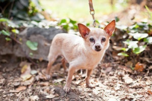 Pringle is an adoptable Chihuahua Dog in Sherman Oaks, CA. It's not that I don't like children and it's not that I'm fragile but I'm not as quick as I once was either. I love people but sometimes I'm ...
