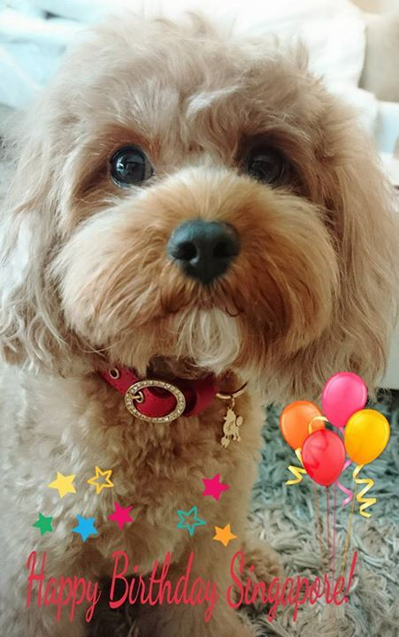 """All ready to celebrate National Day in my red Kierry's leather collar! Happy 51st Birthday Singapore!!""  #sg51 #nationalday #collar #leather #red #petaccessories #kierrys #dogs #cavoodle"