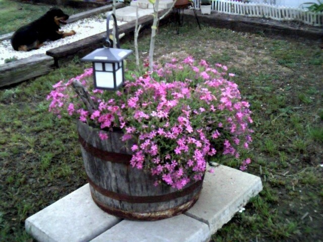 Purple Flax Garden Barrell--outside my writing studio, beloved seeing eye dog Tessa in the background. Photo by Gia Alexander. Direct upload. All Pinning Welcome!