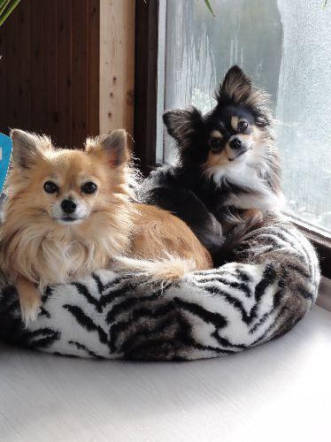 Ich lieeeeebe dieses Foto!!! - Fotogalerie - Chihuahuaforum