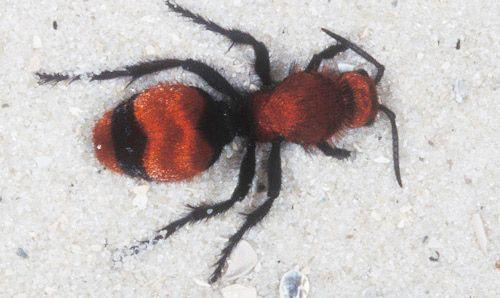 "Adult female ""cow killer,"" Dasymutilla occidentalis occidentalis (Linnaeus), a…"