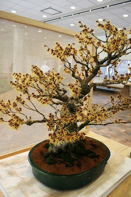japanese witch hazel flickr photo sharing exotische pflanzen ziehen pinterest photos. Black Bedroom Furniture Sets. Home Design Ideas