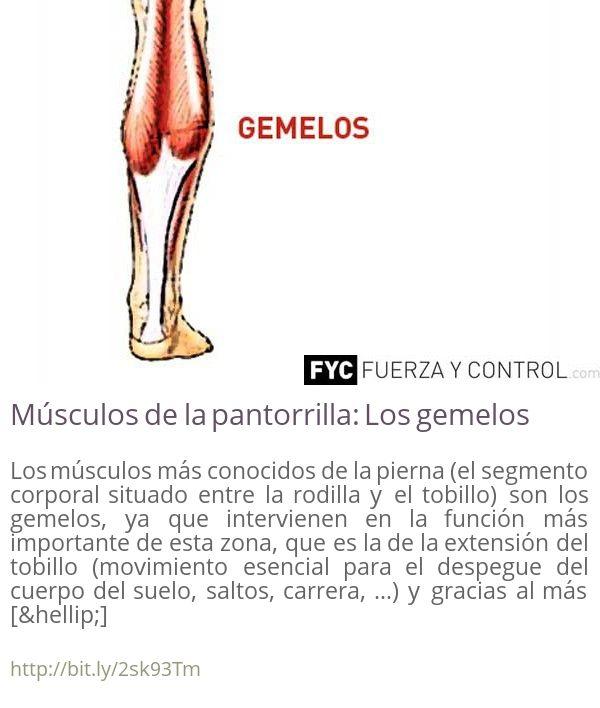Músculos de la pantorrilla: Los gemelos Los músculos más conocidos de la pierna (el segmento corporal situado entre la rodilla y el tobillo) son los gemelos ya que intervienen en la función más importante de esta zona que es la de la extensión del tobillo (movimiento esencial para el despegue del cuerpo del suelo saltos carrera ) y gracias al más []