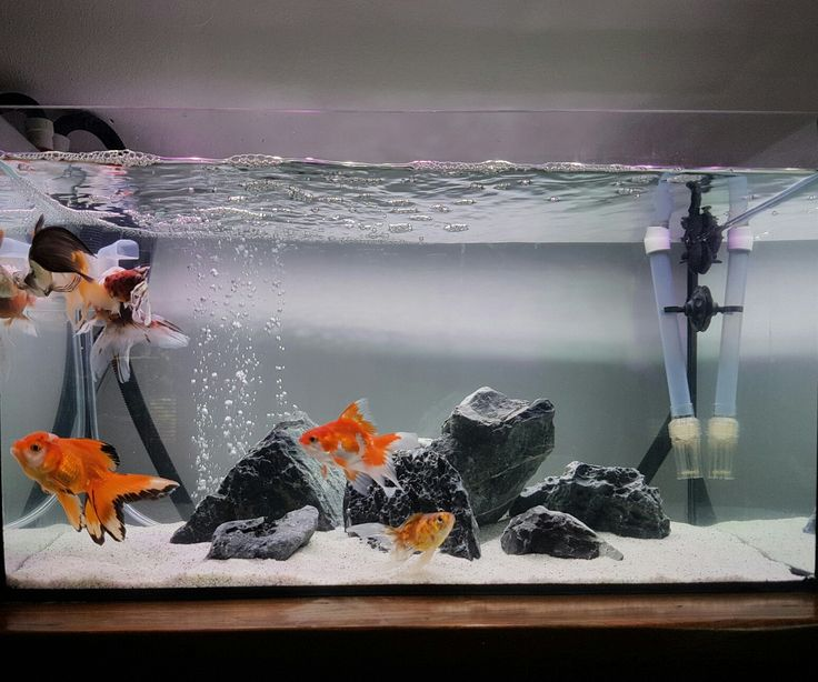 17 Best Images About Project Fish Tank On Pinterest: 17 Best Ideas About Goldfish Tank On Pinterest