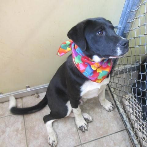 RESCUED!!!  TIME UP ON 6/12!! 1 DAY LEFT TO SAVE HIM! Needs a foster or adopter! Grant is 1 of five 8-month old Lab-mix siblings. He weighs 45 lb. & is very sweet & laid-back. CONTACT ferretfarm56@gmail.com or kittypuppylv@aol.com if you want to adopt/rescue for this animal. There are more pics at the link. He's really adorable! Located in Commerce, GA, 1 hour North of Atlanta…