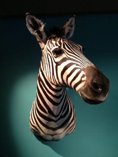 Opgezette Zebrakop / Zebra hoofd George  Dit grote opgezette zebra hoofd hengst is echt een object aan de muur. De zebra kop is van een Grant-zebra, de meest zwart / witte zebra die er bestaat. (In...