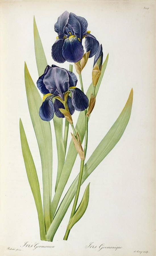 Iris germanica.  Redoute                                                                                                                                                                                 More