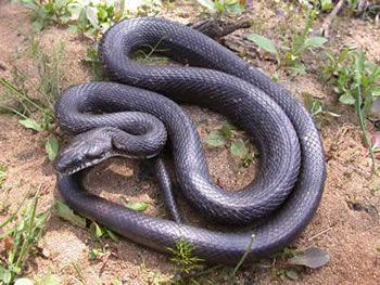 "Black rat snake ""Elaphe obsoleta"" Class: Reptilia Order: Squamata Family: Colubridae"