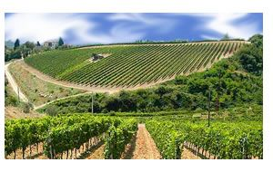 Oltrepo Pavese - Vigne