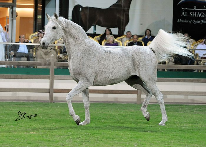 Pilar (Fawor – Pipi/Banat) from Poland, the Queen of Al Shaqab Stud.