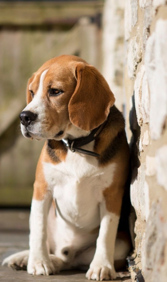 Beagle Dog Hd Wallpapers Pictures Dogs Dogwallpapersmobiles