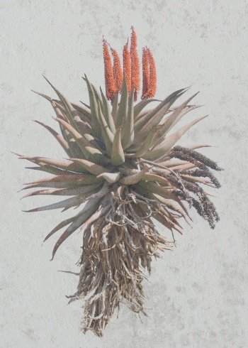 Aloe Karoo - photograph by Fran Jex on canvas