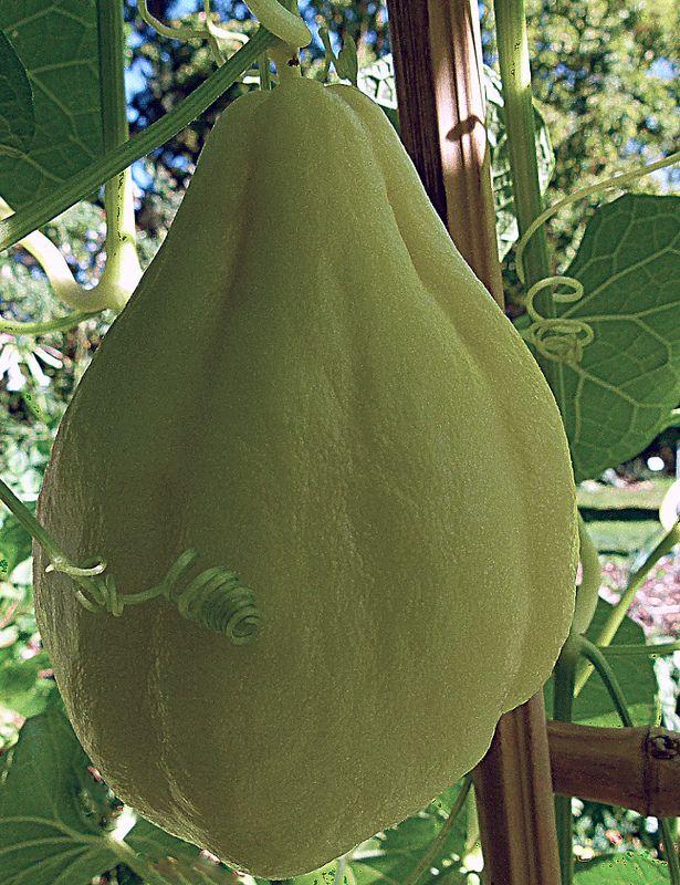 Chayote fruit and vine (Sechium edule).