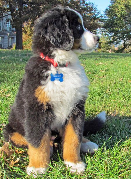 I want a Bernese Mtn. Dog so badly!