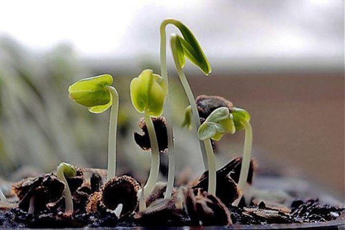 КАК ПРОРАСТИТЬ СЕМЕНА!, проращивание семян