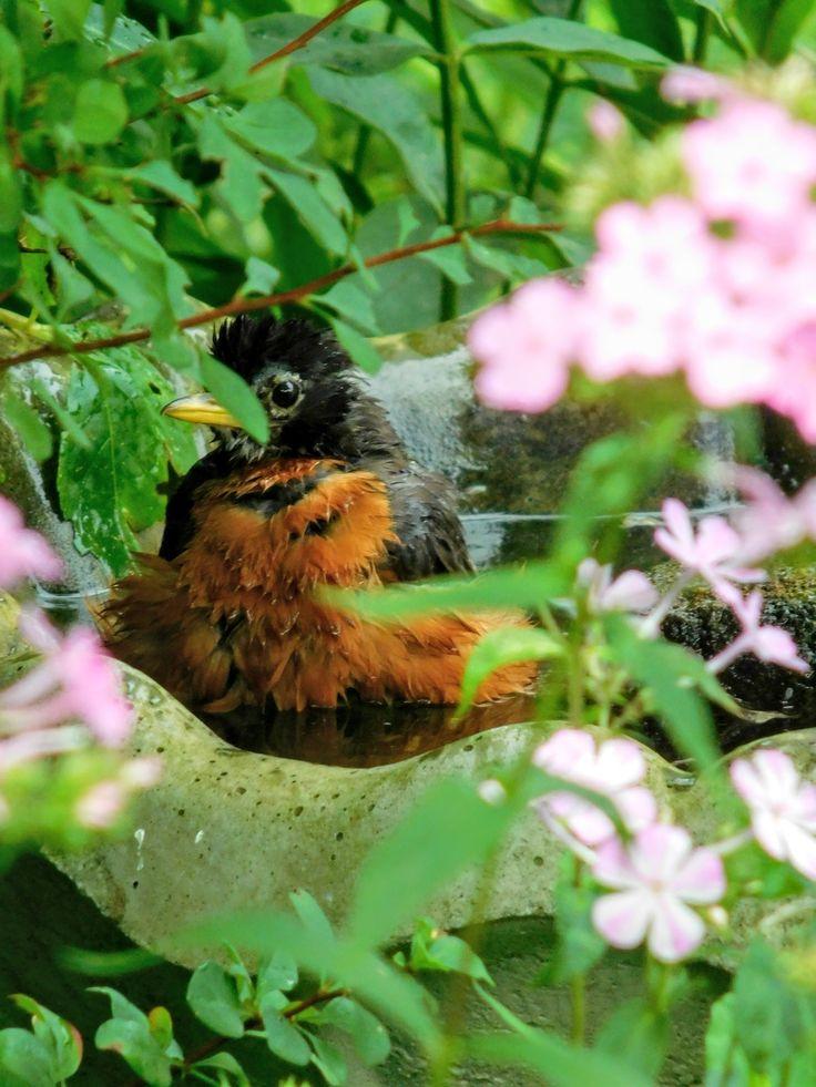 Robin in the birdbath, getting totaling clean! - Photo by S.Dorman