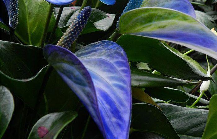 Top 15 Most Beautiful Anthurium Flowers Anthurium Flower Anthurium Anthurium Plant