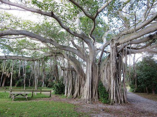 Giant Banyon Tree, Hugh Taylor Birch State Park, Fort Lauderdale, Florida