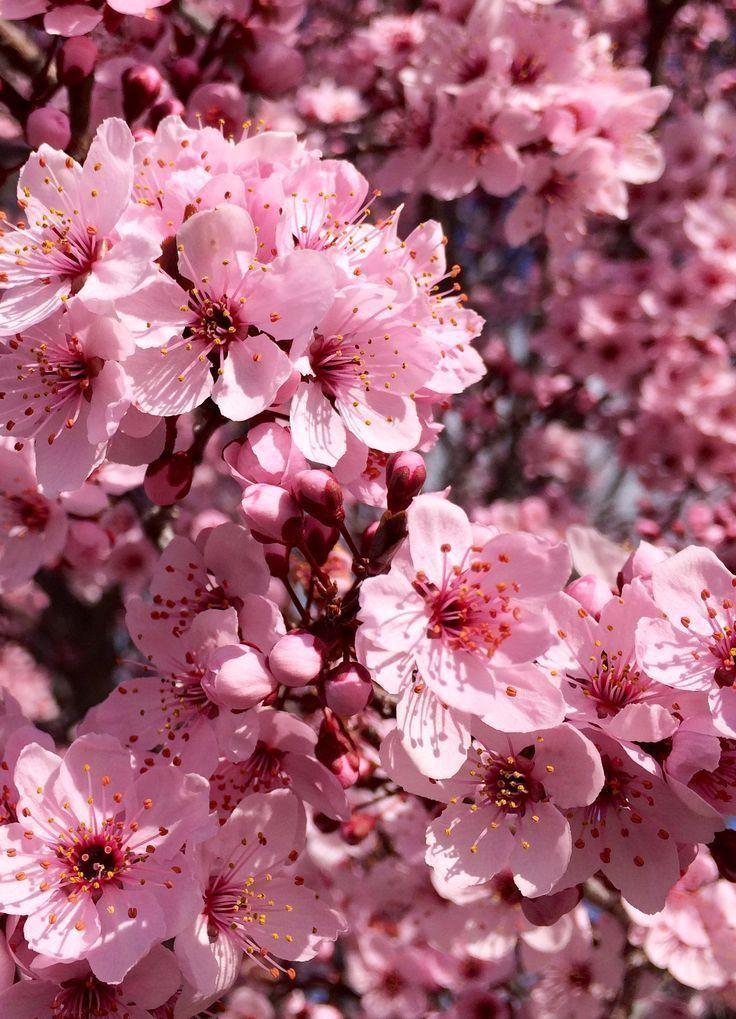 Ser Eau De Parfum Women S Perfume Yanbal Nature Photography Flowers Cherry Blossom Wallpaper Flowers Photography