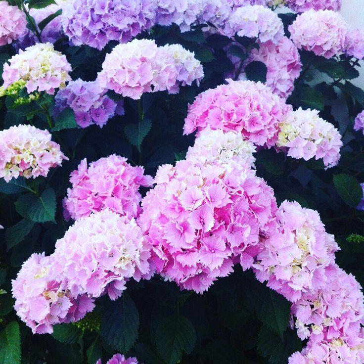 Purple #hortensia, this year are wonderful!