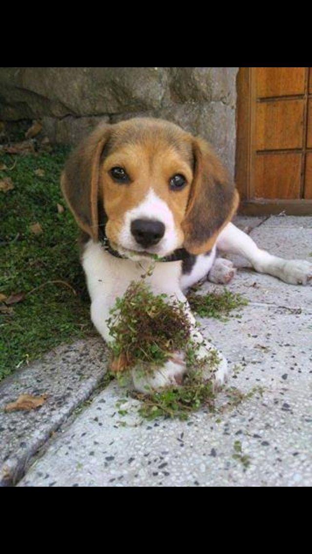 My Chewy Still Does This Beagle Breeds Beagle Puppy Beagle