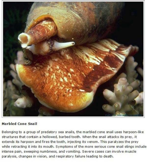 Marbled Cone Snails