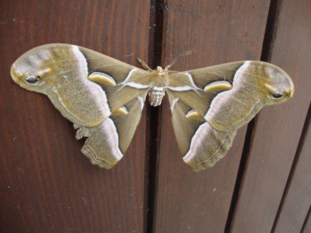 http://lefotodiluisella.blogspot.it/2015/09/una-gigantesca-e-sconosciuta-farfalla.html
